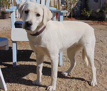 Lebra Dog Puppy White